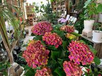 素敵アジサイ入荷しました(o^^o) - ブレスガーデン Breath Garden 大阪・泉南のお花屋さんです。バルーンもはじめました。