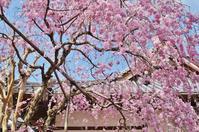 有馬・念仏寺の枝垂れ桜 - たんぶーらんの戯言