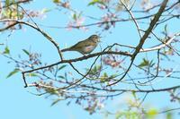 今季初撮りセンダイムシクイ - 近隣の野鳥を探して
