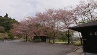 小さい桜芝桜 - はりねずみの日記帳
