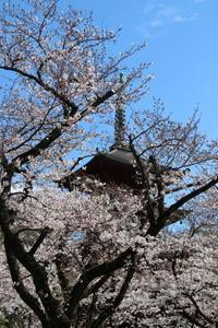 お寺さんの桜☆満開前に~青空と♪4月17日はクィーンの日! - Let's Enjoy Everyday!
