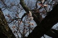 盛岡の桜 - ひとりごと・・・