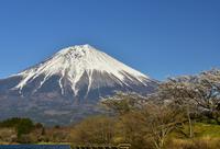 田貫湖の桜 - 風とこだま