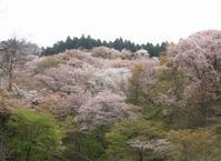 「BHさんとYOSHIKIさん!」+「吉野の千本桜!」4/17(水) - あばばいな~~~。
