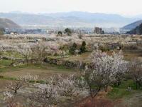 長野そぞろ歩き・アンズ祭り:千曲市倉科・森のアンズ - 日本庭園的生活