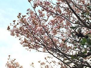 八重桜 - アトリエkotori*のほほん柴犬日和