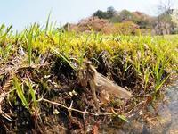 シオカラトンボの羽化とホソミオツネントンボの産卵Byヒナ - 仲良し夫婦DE生き物ブログ