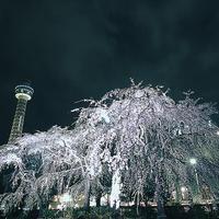 ハマの夜桜山下公園の枝垂れ乱れて - スナップ寅さんの「日々是口実」