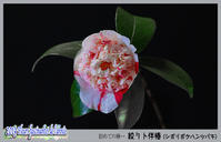 「花たち - 絞り卜伴椿(シボリボクハンツバキ)」 - デジカメ散歩写真