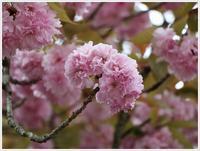 今年は無理かなと思っていた牡丹桜、何とか間に合ったセーフだ~ - さくらおばちゃんの趣味悠遊