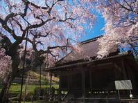 桜めぐり2019~西光寺~(4/9) - ばってらの放浪季