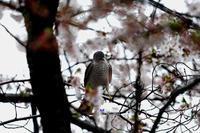 桜とツミ - azure 自然散策 ~自然・季節・野鳥~