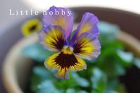 パンジームランフリルやっと咲いた2019春 - Little hobby