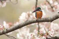 桜に木ばかりにいるわけじゃないカワセミ - michikoの部屋