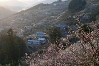 梅~賀名生の里に射す光 - katsuのヘタッピ風景