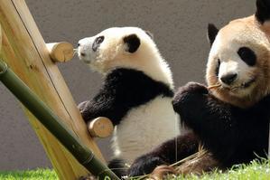 彩ちゃんはパンダの女の子(その1、梯子が大好き) - 旅プラスの日記