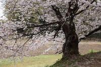 桜降る降る - 風の彩り-2