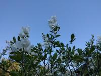利休梅と庭のいろいろ - natural garden~ shueの庭いじりと日々の覚書き