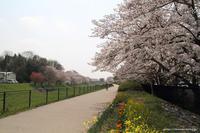 桜散歩 - 虫籠物語