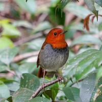 コマドリの囀り - 続 鳥撮るclub