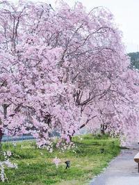 静岡県川根本町の枝垂桜 - Bonbon Fleur ~ Jours heureux  コサージュ&和装髪飾りボンボン・フルール