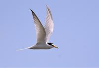 Little Tern - AVES