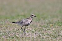 Pacific Golden Plover - AVES