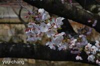 美観地区の桜(マイナス一段) - 下手糞でも楽しめりゃいいじゃんPHOTO BLOG