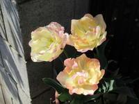 香りまで良い八重咲きチューリップ - bowerbird garden ~私はニワシドリ~