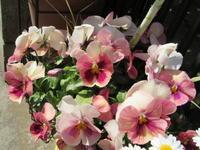 色移りのパンジー&これぞ満点星☆ - bowerbird garden ~私はニワシドリ~