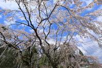 醍醐寺の桜 - ぴんぼけふぉとぶろぐ2