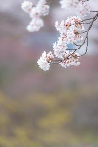 桜*SAKURA*さくら*サクラ - 気ままにお散歩