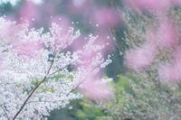 春爛漫の。。。 - 気ままにお散歩