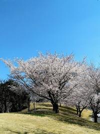 SAKURA2019 - Daily Green (デイリー・グリーン)