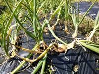 玉ねぎが倒れ始めた、タケノコ、里芋、生姜・・・古民家畑 - 化学物質過敏症・風のたより2
