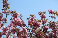 きょうの桜4月18日 - 出不精日記