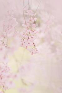 枝垂れ桜 ** - なないろ模様