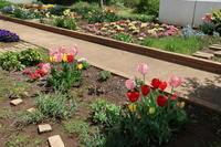 赤いチューリップが咲きました~!春爛漫ヽ(^o^)丿 - ニッキーののんびり気まま暮らし