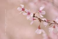 豆桜 - cache-cache
