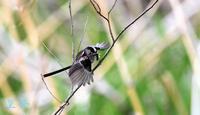 鳥じたいが小さいので、また落ち着いて居ないので、中々うまく撮れません。( ´艸`)。誠 - 皇 昇