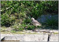 タヒバリが居た - 野鳥の素顔 <野鳥と日々の出来事>