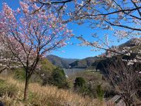 山中温泉の桜は終わっちゃ〜いなかった!! - 酎ハイとわたし
