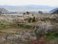長野そぞろ歩き・アンズ祭り:更埴・森のアンズ(その2) - 日本庭園的生活