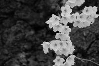 cherry season - フォトな日々