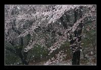 雪中の桜 - Desire
