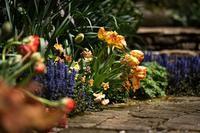 チューリップの季節の英国風庭園 - Soul Eyes