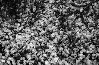 kaléidoscope dans mes yeux2019半径500メートルの情景#64櫻の季節#25 - Yoshi-A の写真の楽しみ