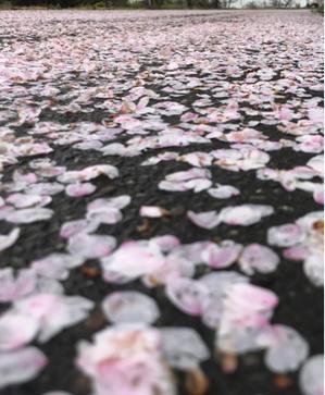 萌葱色の桜と花嫁人形 - 流れる雲のように