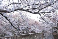恩田川沿いの桜とセ・ラ・セゾン!C'est la Saison! のケーキ。 - 野だてnote
