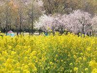 菜の花と桜の風景 - 出逢いの瞬間(とき)